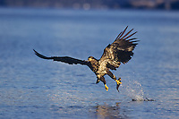 Immature Bald eagle (Haliaeetus leucocephalus) fishing.