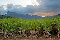 Sugar cane paddock with Mount Demi in the background, Queensland, Australia