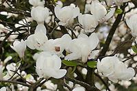 Purpur-Magnolie, Purpurmagnolie, Magnolia liliiflora, Magnolie, Magnolien, Magnolienbaum, Magnolia, Mulan magnolia, Purple magnolia, Red magnolia, Lily magnolia, Tulip magnolia, Jane magnolia, Woody-orchid