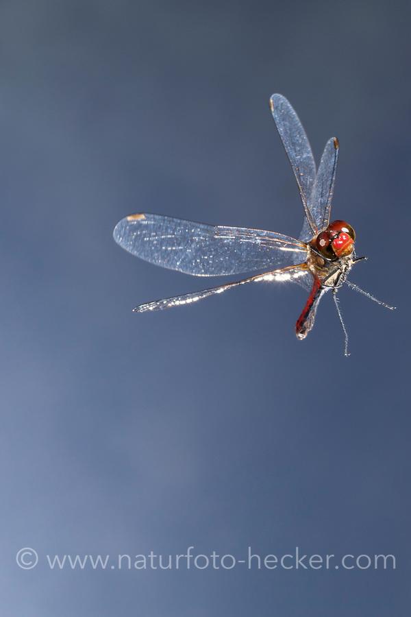 Blutrote Heidelibelle, Männchen, Flug, fliegend, Sympetrum sanguineum, ruddy sympetrum, Ruddy Darter, male, flight, flying, Sympétrum sanguin