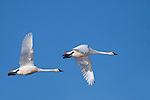 Trumpeter Swans (Cygnus buccinator), Alberta, Canada