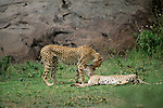 Two cheetahs groom each other in Africa