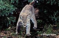 MA15-045x  Bobcat - Felis rufus