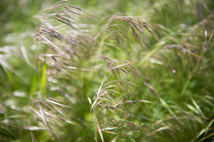 Cheat grass blows in the wind on the American Prairie Reserve in southern Philips County, Montana.