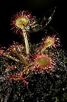 Deer fly  Chrysops sp. Trapped on sundew plant Drosera rotundiflora<br />