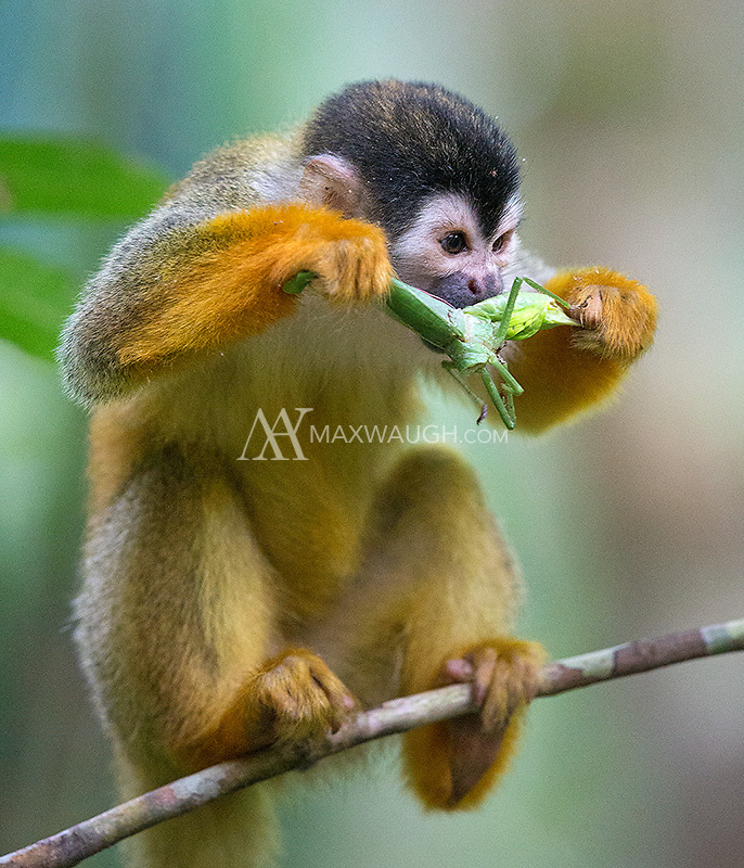 The Central American squirrel monkey is the smallest and most threatened of Costa Rica's four monkey species.  This troop proved to be very adept and catching tasty insects.