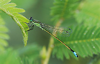 Rambur's Forktail, Ischnura ramburii, male, Willacy County, Rio Grande Valley, Texas, USA, May 2004