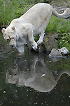 Foto: VidiPhoto<br /> <br /> RHENEN - Door de pandagekte zou je bijna vergeten dat er in Ouwehands Dierenpark ook nog andere beesten leven. Zoals deze spiegelminnende witte leeuwin, bijvoorbeeld. Het ijdele roofdier koestert opmerkelijk vaak haar beeltenis in de spiegelende vijver van het leeuwenverblijf. Tot groot vermaak van het publiek. En hoe dichter bij de spiegeling, des te interessanter. Vrouwen en spiegels vormen ook in de mensenwereld een onafscheidelijk duo. Volgens onderzoek van Today en AOL onder 2000 vrouwen, blijkt dat dames 335 uur per jaar voor de spiegel staan, oftewel 55 minuten per dag. Niet zomaar is het seksesymbool voor vrouwen een handspiegel.