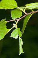 Schwarzer Birkenblattroller, Birken-Blattroller, Birkentrichterwickler, Birken-Trichterwickler, Trichterwickler, Deporaus betulae, Birch Leaf-roller, birch leaf roller, Blattroller, Attelabidae, Leaf-rollers, leaf rollers