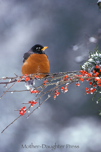 Robin, Turdus migratorius, perches on icy  branch with red holly berries