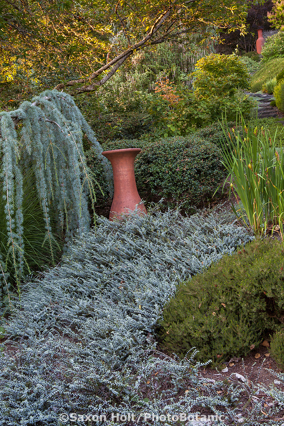 Terra cotta urn focal point in drought tolerant garden with Hebe pimeleoides 'Quicksilver' (Quicksilver Hebe) groundcover with weeping conifer Cedrus atlantica 'Glauca Pendula' (Atlas Cedar) Albers Vista Gardens