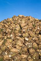 Freshly haarvested sugar beet in a clamp - Norfolk, February