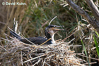 0318-1003  Great Cormorant (White-necked Cormorant) Sitting on Nest, Phalacrocorax carbo lucidus  © David Kuhn/Dwight Kuhn Photography.