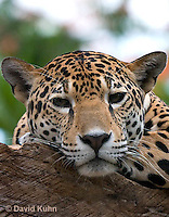 0522-1104  Goldman's Jaguar, Belize, Panthera onca goldmani  © David Kuhn/Dwight Kuhn Photography
