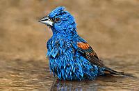 538680012 a wild male blue grosbeak guiraca caerulea bathes in a small pond in the rio grande valley in south texas