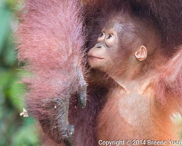 Borneo Orangutan Baby_8516
