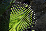 Palm frond in Indian Canyons in Palm Springs