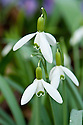 Greater snowdrop (Galanthus elwesii), late February.