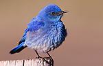 Mountain bluebird ( sialia currucoides) on fance post