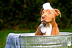 Pit bull puppy in wash tub getting a bath with bubbles on its head. .Model #0008