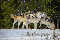 Wild GRAY WOLVES (Canis lupus) playing/behavior.  Wolf on the right is approximately 6 month old pup trying to get mom to play.  Greater Yellowstone Ecological Area.  Fall.