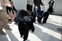 A parade of French poodles during the pubic opening of Louvre Atlanta at the High Museum of Art. Over the next three years, the High Museum will feature hundreds of works of art from the Musée du Louvre in Paris.