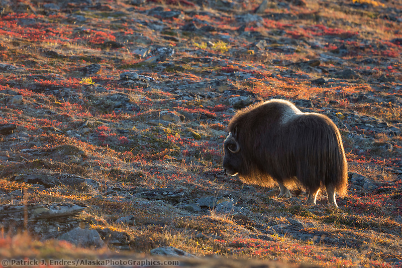 Muskox on the colorful tundra in Nome, Alaska.