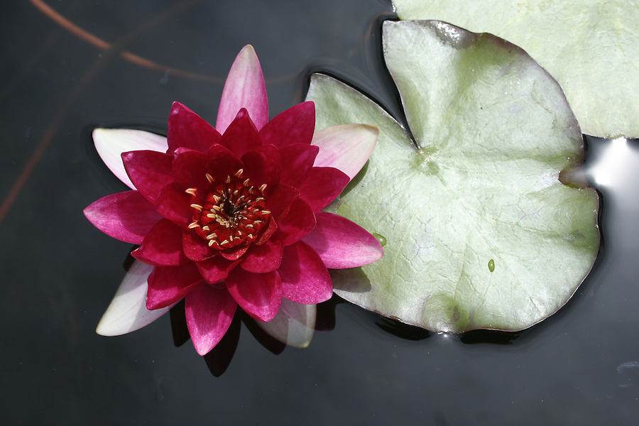 Pink water lily with lily pad floating