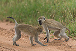 """Two young monkeys playfight and try to pin each other to the floor.  The Vervet monkeys - who are both around a year old - wrestle each other on a dirt track at Serengeti National Park, Tanzania.<br /> <br /> Amateur photographer Zhayynn James pictured the pair from just ten metres away after they split off from their troop for their sparring session.<br /> <br /> The 43-year-old, from Chennai, India, said: """"I observed the pair playing around, and knew they would provide some interesting photo opportunities.  SEE OUR COPY FOR DETAILS.<br /> <br /> Please byline: Zhayynn James/Solent News<br /> <br /> © Zhayynn James/Solent News & Photo Agency<br /> UK +44 (0) 2380 458800"""