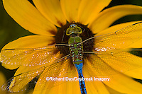 "06361-006.05 Common Green Darner (Anax junius) male on Black-eyed Susan (Rudbeckia hirta ""Indian Summer"") Marion Co.  IL"