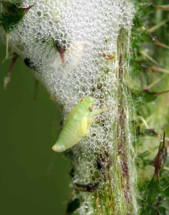 Common Froghopper larva - Philaenus spumarius