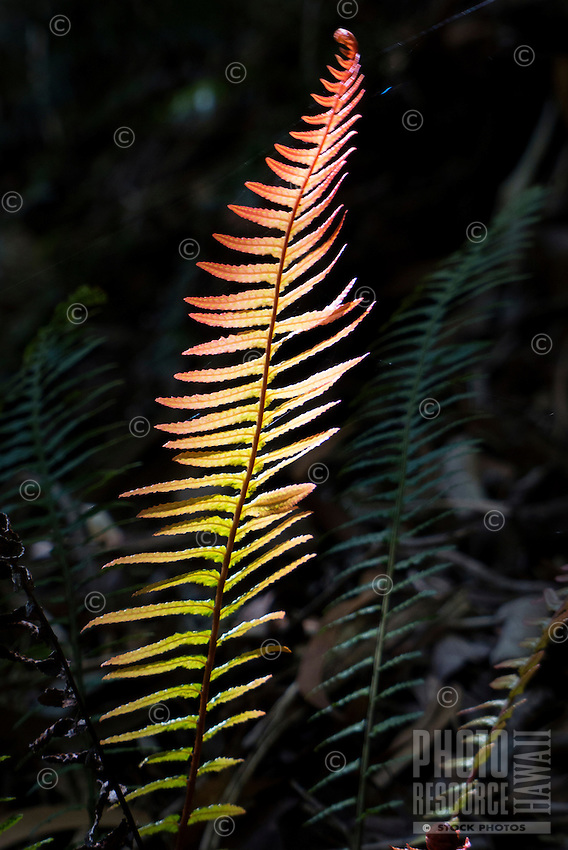 A sun-dappled fern along on a wooded hiking trail in Koke'e State Park, Kaua'i.