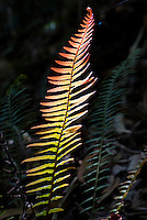 A sun-dappled fern along on a wooded hiking trail in Koke'e State Park, Kaua'i.