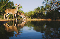 White-tailed Deer (Odocoileus virginianus), bucks drinking, Rio Grande Valley, Texas, USA