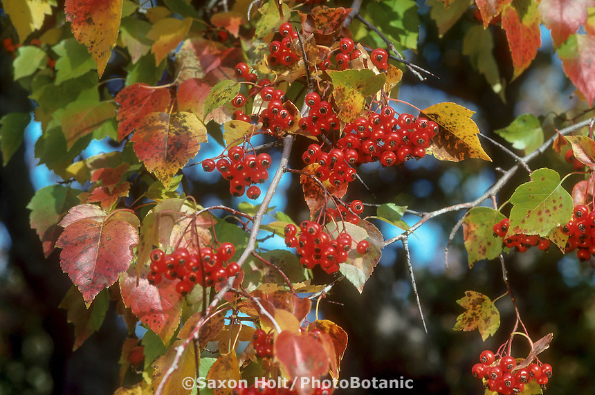 Crataegus phaenopyrum, Hawthorn (Washington Thorn tree) with red berries and leaves in fall color