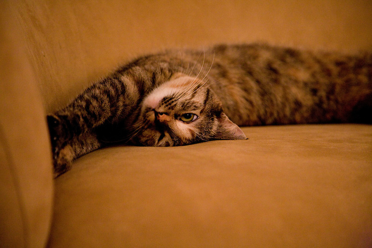 Tabby cat stretching out, upside down, on the couch, stuck.