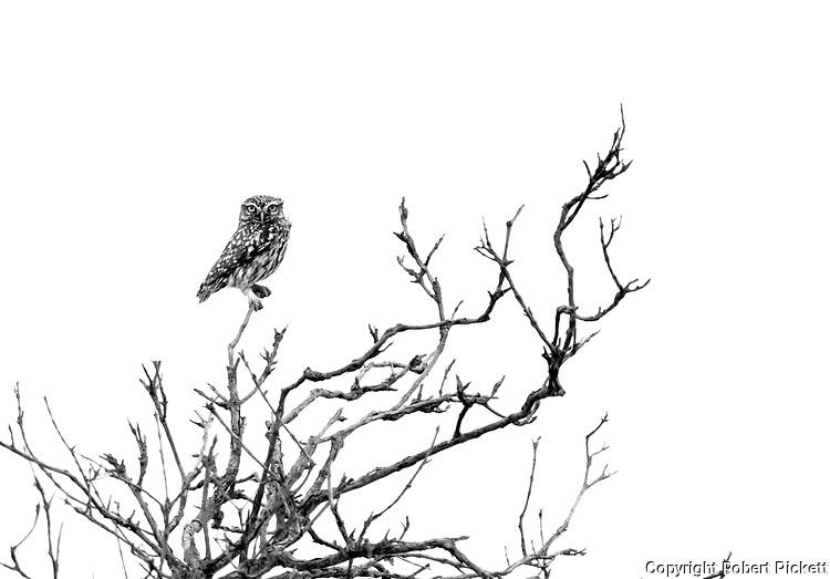 Little Owl, Athene noctua, Ria Formosa East, Algarve, Portugal, perched high in tree,