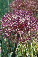 Allium christophii Star of Persia ornamental onion in flower