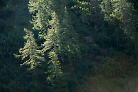 Evergreen trees growing near the Miage Glacier, September 2007