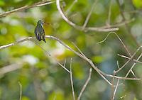 Mangrove hummingbird, Amazilia boucardi, perched in a tree at the shore of the Tarcoles River, Costa Rica