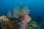 Elephant ear sponge (Ianthella basta) with diver