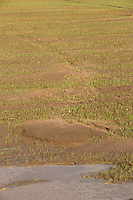 Soil erosion caused by flood water in a Winter wheat field<br /> &copy;Tim Scrivener Photographer 07850 303986<br /> ....Covering Agriculture In The UK....