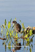 00858-00415 Common Gallinule (Gallinula galeata) at Viera Wetlands Brevard County, FL