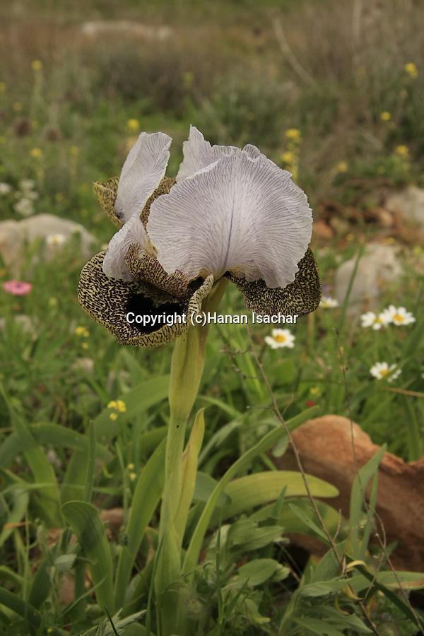 Israel, Nazareth Iris in Givat Hamore