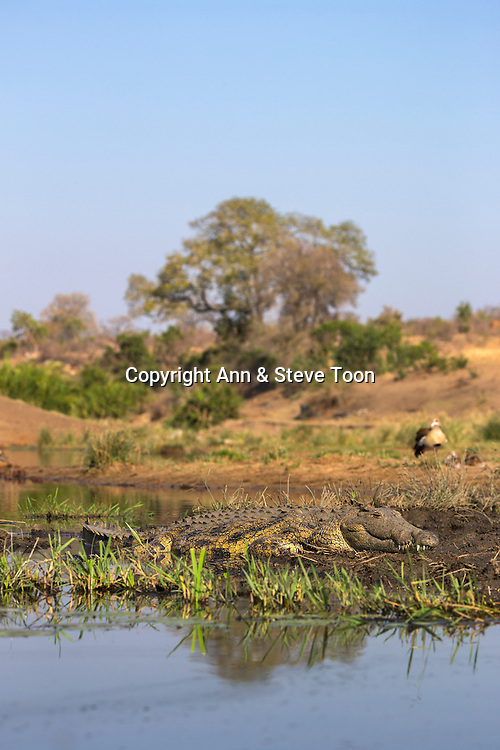 Nile crocodile (Crocodylus niloticus), Kruger national park, South Africa, September 2016