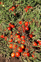 Contadini durante la raccolta di pomodori. Farmers during the harvesting of tomatoes....