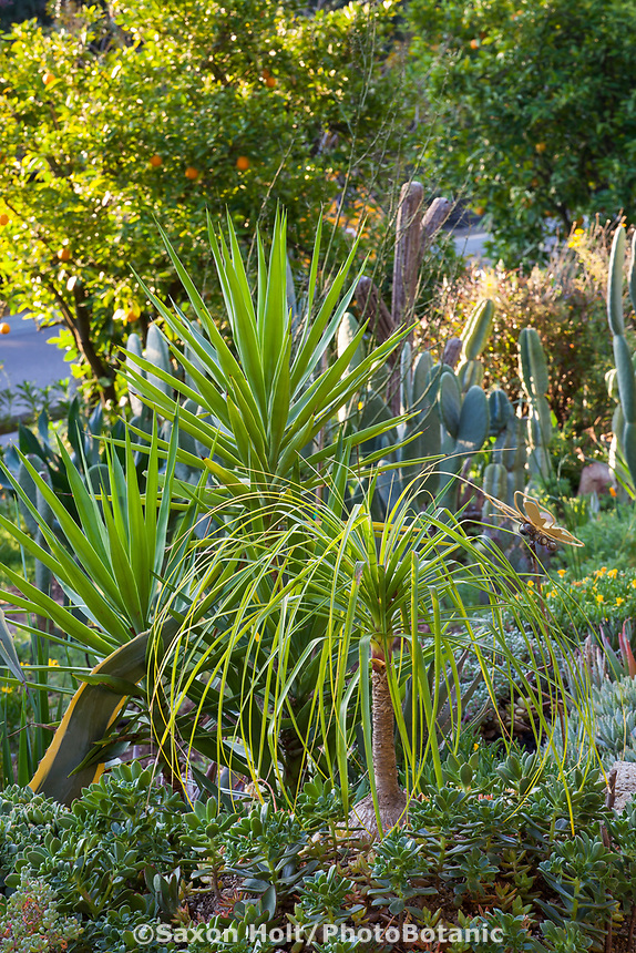 Beaucarnea recurvata, Ponytail Palm with Aloe aloifolia Spanish Dagger and Aeoniums in Debra Lee Baldwin Southern California succulent garden