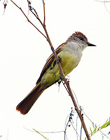 Brown-crested flycatcher adult