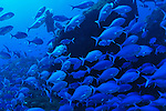 Blue MaoMao (Scorpis violacea) at Raoul island, Kermadecs.