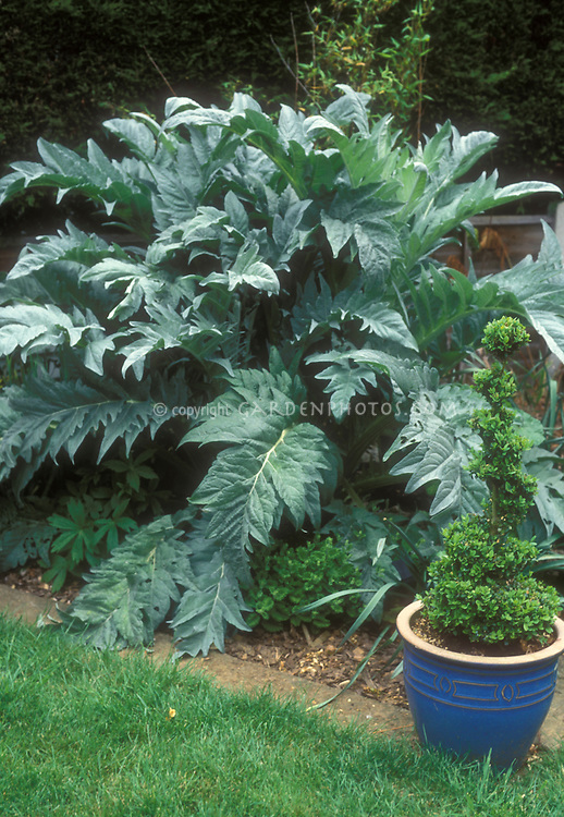 Artichoke Cynara cardunculatus Scolymus vegetable plant growing in the garden in the ground, edible crop, perennial, with other plants and flowers in backyard garden with boxwood Buxus evergreen in blue pot, lawn grass